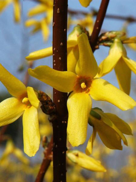 Blüte des Goldglöckchens