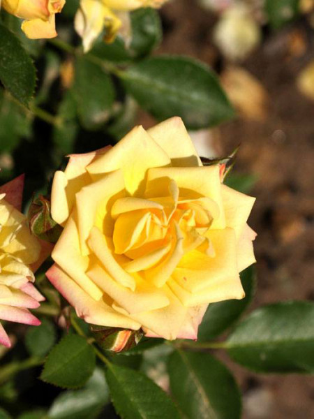 Rose Little Sunset ® - Kordes