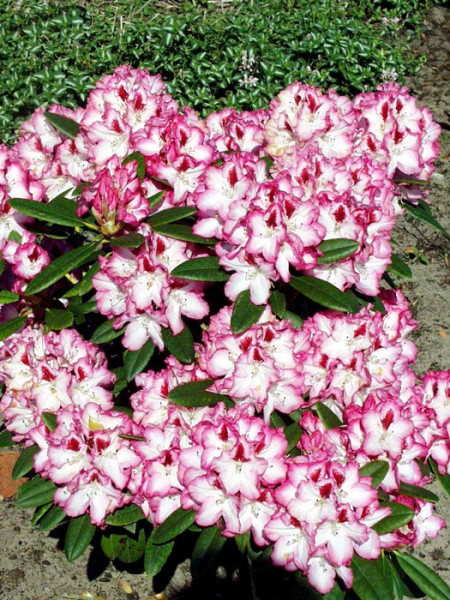 Rhododendron 'Hachmanns Charmant'