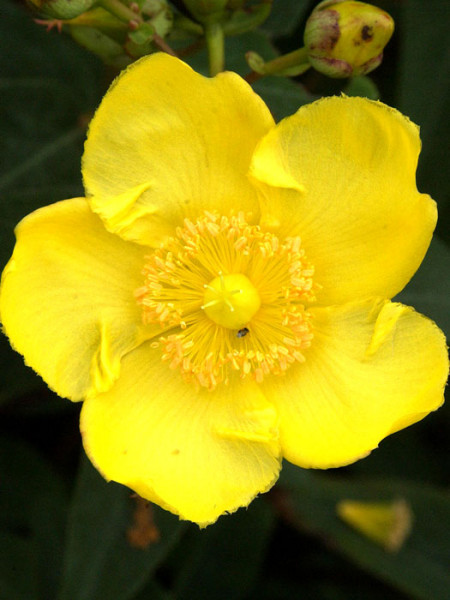 Johanniskraut Hidcote Einzelblüte