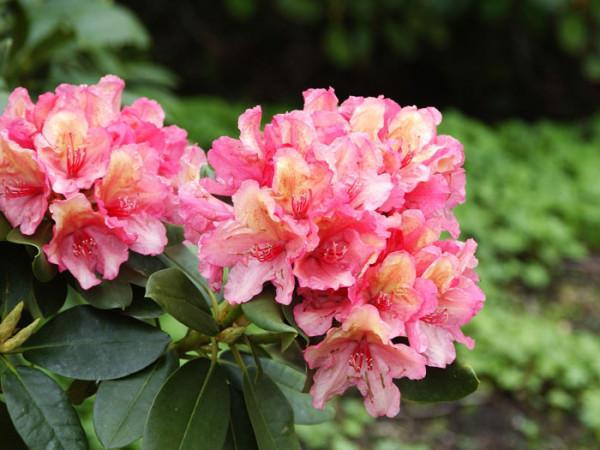 Rhododendron 'Brasilia' INKARHO®