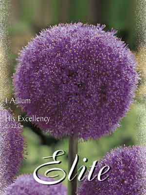 Allium 'His Excellency' (Art.Nr. 596312)