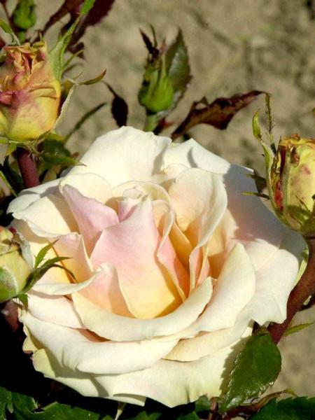 Blüte der Rose Caramella