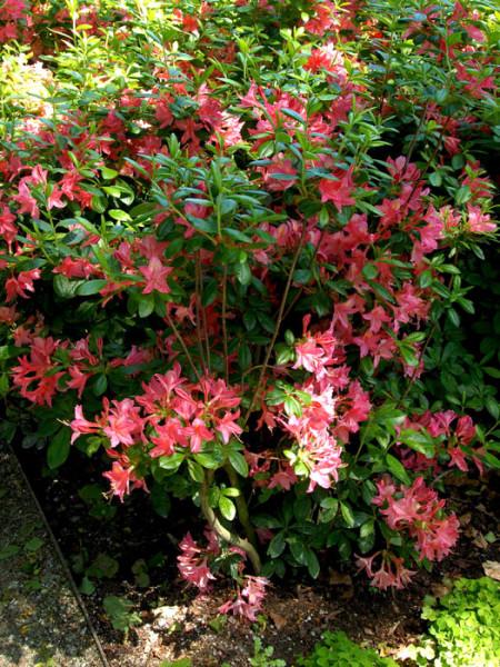 Rhododendron luteum 'Jolie Madame', sommergrüne japanische Gartenazalee