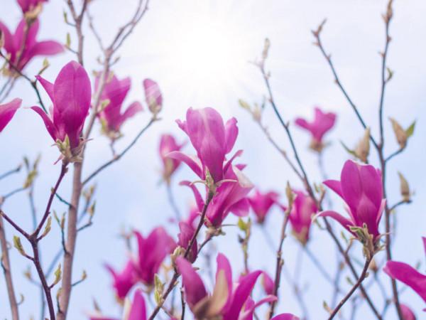 Magnolia Vulcan, Magnolie