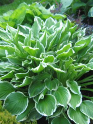 Hosta fortunei 'Albomarginata' (M), Garten-Herzblattlilie