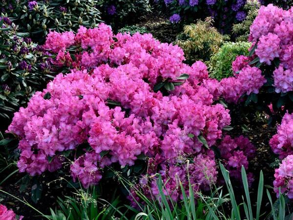 Rhododendron 'Anastasia'