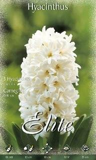 Hyazinthe 'Carnegie' (Art.Nr. 595000)