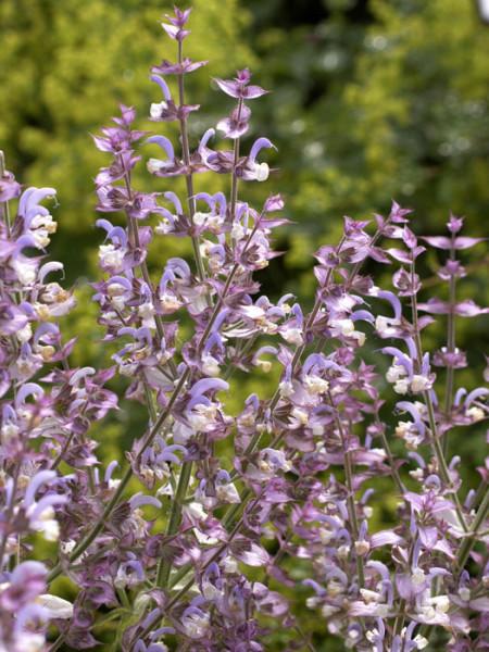 Salvia sclarea, Muskateller-Salbei