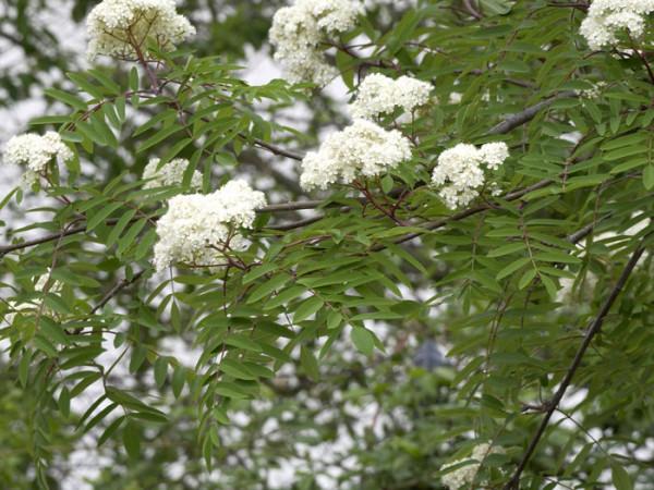 Sorbus aucuparia, Eberesche, Vogelbeere