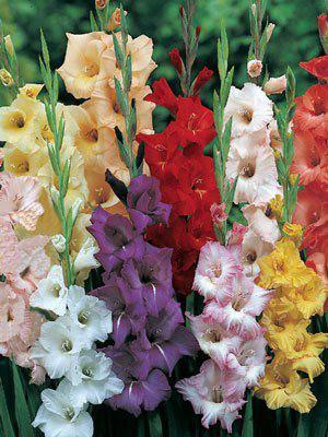 Großblumige Gladiolen-Mischung, Gladiolus (Art.Nr. 521330)