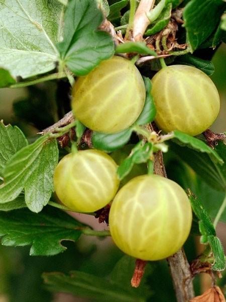 Stachelbeere 'Resistenta Gelb'