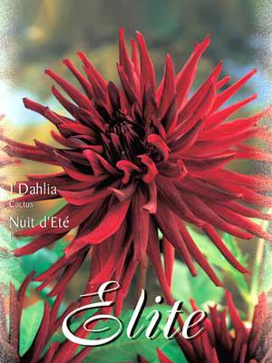 Kaktus-Dahlie 'Nuit d' Ète`', Dahlia (Art.Nr. 520060)