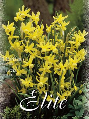 Botanische Narzisse 'Hawera' (Art.Nr. 596106)
