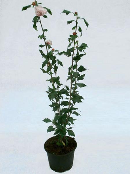 Hibiscus syriacus 'Ardens', Hibiskus, Garteneibisch