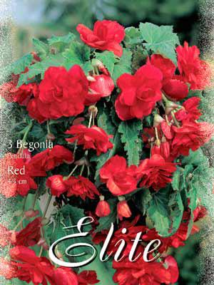 Hänge- oder Ampelbegonie 'Red', Begonia pendula (Art.Nr. 520874)