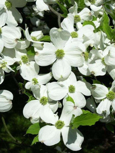 Vielzahl an weißen Blüten des Cornus florida