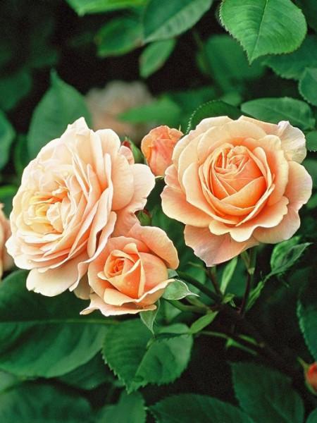 Blüte der Rose Charles Austin