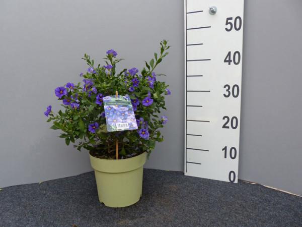 Solanum rantonnetii, Solanum, Enzianstrauch