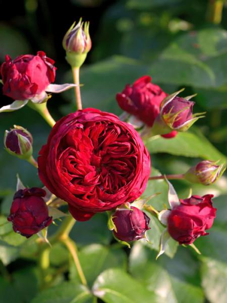 Blüte der Rose Rotkäppchen