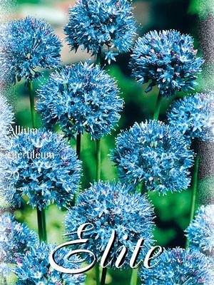Allium caeruleum (Art.Nr. 596302)