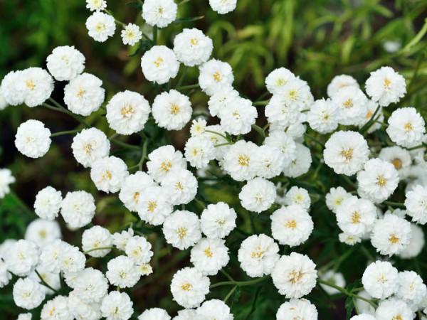 Achillea ptarmica 'The Pearl' (Syn.'Schneeball', 'die Perle'), Sumpfschafgarbe, gefüllte Bertramsgarbe