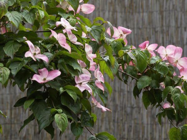 Zweig eines blühenden Blumenhartriegels 'Satomi'