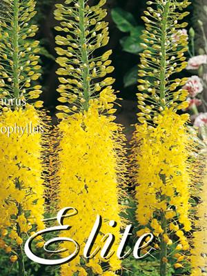 Steppenkerze, Eremurus stenophyllus (Art.Nr. 596668)