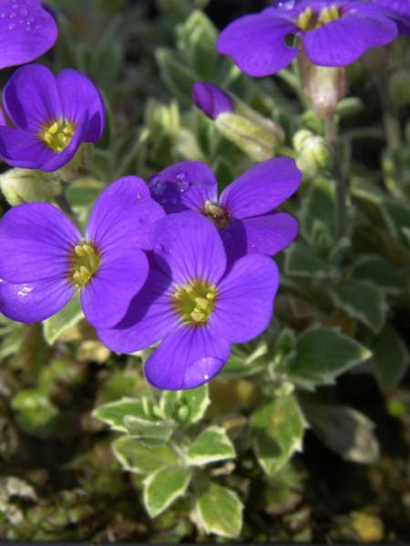 Blatt und Blüte des weißbunten Blaukissens