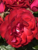 Rose Montana ® - Tantau