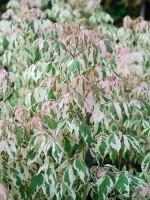 Acer negundo 'Flamingo', Buntlaubiger Eschenahorn