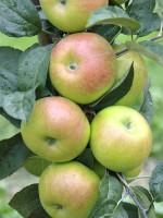 Apfel Brettacher