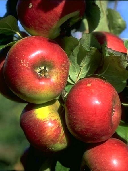 Apfel Prinz Albrecht