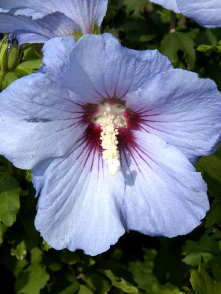 Hibiskus Blüte Ardens
