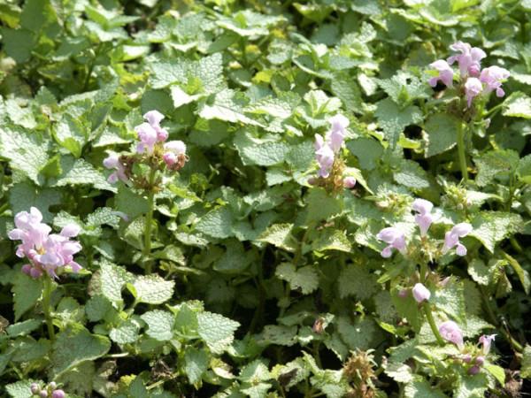 Lamium maculatum 'Pink Pewter', gefleckte Taubnessel, Silberblatt-Taubnessel