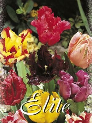 Papagei-Tulpen-Prachtmischung (Art.Nr. 595590)