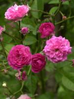 Rose Super Excelsa