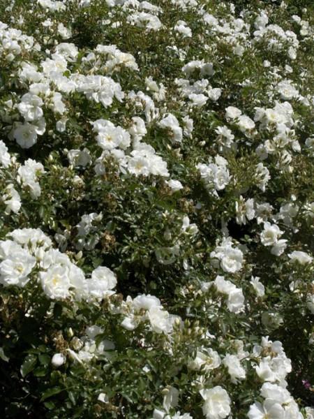 Bodendeckerrose Schneeflocke
