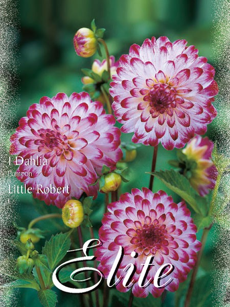 Pompon-Dahlie 'Little Robert', Dahlia (Art.Nr. 520442)
