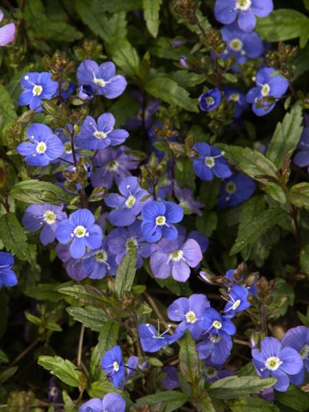Veronica pedunculata 'Georgia Blue', Polster-Ehrenpreis, gestielter Ehrenpreis