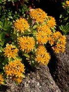 Sedum_floriferum