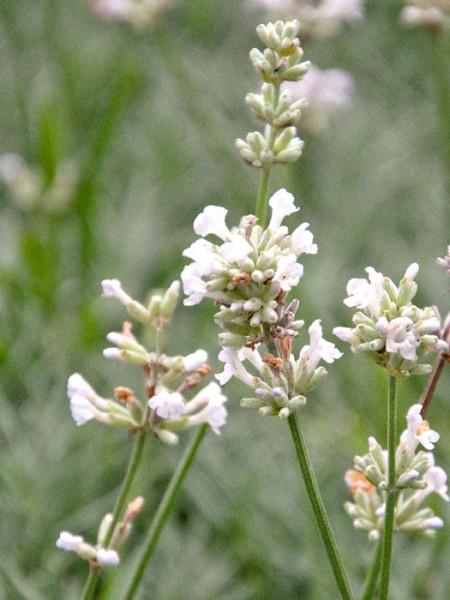 Lavandula x intermedia 'Edelweiß', Weißer Lavendel, Provence-Lavendel
