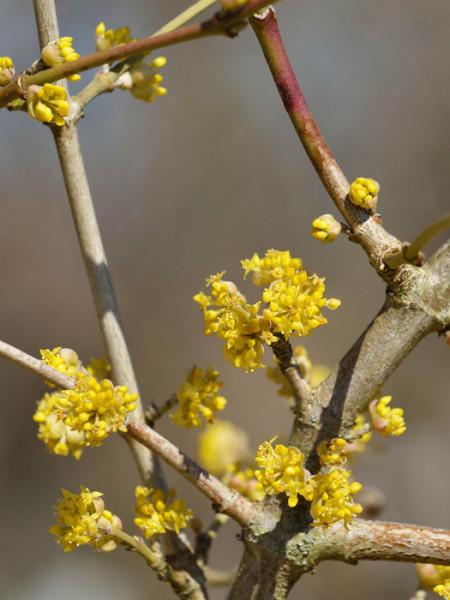 Gelbe Blüte der Kornelkirsche 'Jolico'