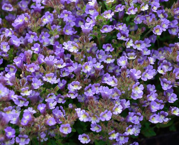 Chaenarrhinum origanifolium 'Blue Dream', Klaffmäulchen