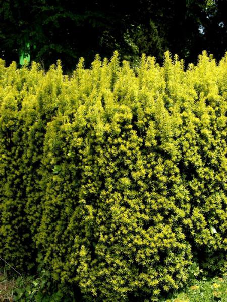 Hecke mit gelber Säuleneibe
