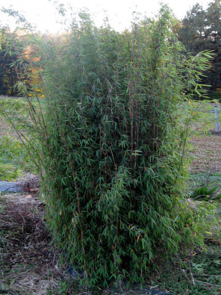 Fargesia jiuzhaigou, Jade Bambus, rothalmiger Schirm-Bambus