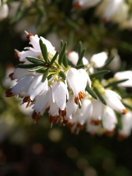Blüte der Schneeheide 'Isabell'