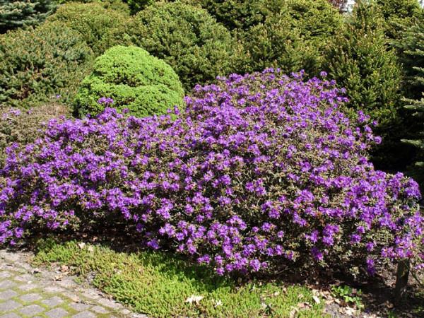 Rhododendron impeditum 'Azurika'
