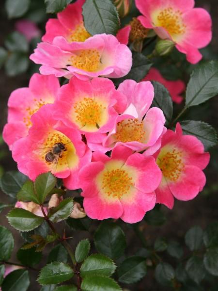 Blüte der Rose Topolina