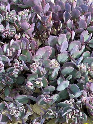 Sedum cauticolum, Pflaumen-, Himalaja- oder Purpur-Fetthenne